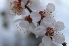 Ramo di fioritura dell'albicocca Sorgente immagini stock