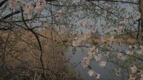 Ramo di fioritura dell'albicocca stock footage