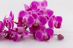 Ramo di fioritura dell'orchidea fotografie stock libere da diritti