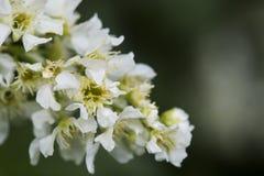 Ramo di fioritura della ciliegia di uccello Fotografie Stock Libere da Diritti