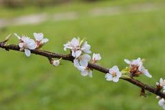 Ramo di fioritura della ciliegia di Nanchino di prunus tomentosa, selettivo Fotografia Stock Libera da Diritti