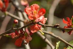 Ramo di fioritura della cotogna con i fiori d'arancio Immagini Stock Libere da Diritti