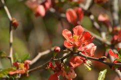 Ramo di fioritura della cotogna con i fiori d'arancio Immagine Stock