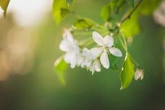 Ramo di fioritura della fine dell'Apple-albero su su un frutteto della molla del fondo Fuoco selettivo Fotografie Stock