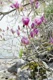 Ramo di fioritura della magnolia fotografia stock