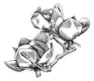 Ramo di fioritura della magnolia Royalty Illustrazione gratis