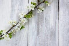 Ramo di fioritura della molla Immagine Stock