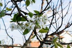 Ramo di fioritura della pera Fiore della pera in molla in anticipo Fotografie Stock