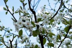 Ramo di fioritura della pera Giardino di fioritura della molla Fiorisce il primo piano della pera Priorità bassa vaga Fiore della Immagini Stock