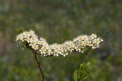 Ramo di fioritura dello spirea dell'arbusto Immagini Stock Libere da Diritti