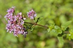 Ramo di fioritura di un arbusto dell'origano fotografia stock libera da diritti
