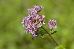 Ramo di fioritura di un arbusto dell'origano immagini stock