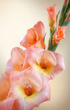 Ramo di gladiolo con i fiori ed i germogli rosa Fotografia Stock