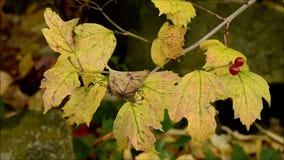 Ramo di Guelder Rosa con le foglie e le bacche di autunno archivi video