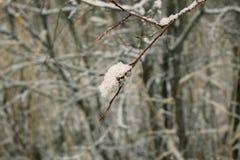 Ramo di inverno Immagini Stock