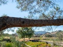 Ramo di legno dell'albero un giorno soleggiato nel paese di vino in California fotografia stock libera da diritti