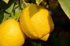 Ramo di limone fotografia stock libera da diritti