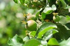 Ramo di melo con i frutti Immagine Stock