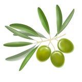 Ramo di olive dettagliato realistico di colore con le foglie Vettore illustrazione vettoriale