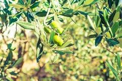 Ramo di olivo con il fondo delle olive verdi immagine stock libera da diritti