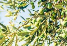 Ramo di olivo con il fondo delle olive verdi fotografia stock