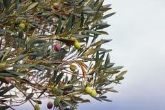 Ramo di di olivo con le foglie ed i frutti Spazio libero per testo Fotografie Stock Libere da Diritti