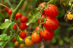Ramo di piccoli pomodori Fotografia Stock
