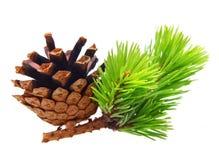 Ramo di pino con il cono Immagini Stock Libere da Diritti