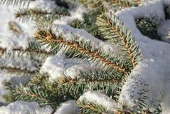 Ramo di pino coperto di neve Immagini Stock Libere da Diritti