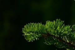 Ramo di pino degli aghi dell'abete isolati a fondo nero Fotografie Stock Libere da Diritti