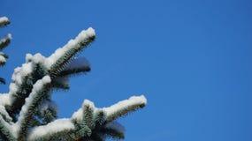 Ramo di pino innevato contro un chiaro cielo blu immagine stock libera da diritti