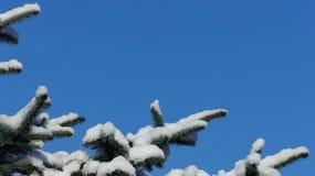 Ramo di pino innevato contro un chiaro cielo blu immagini stock
