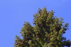 Ramo di pino sui precedenti blu Immagini Stock Libere da Diritti