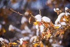 Ramo di quercia con le foglie gialle e marroni secche sotto neve Fotografia Stock Libera da Diritti