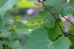 Ramo di Rod con i piccoli mazzi dell'uva Fotografia Stock