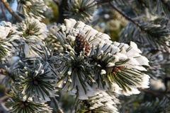 Ramo di Snowy del pino con il cono Fotografia Stock