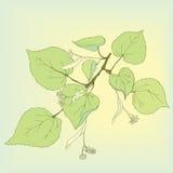 Ramo di tiglio con le foglie, i fiori ed i semi illustrazione vettoriale