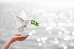 Ramo di trasporto della foglia della colomba Fotografie Stock Libere da Diritti