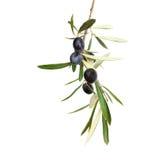 Ramo di ulivo naturale con le olive nere e le foglie isolate su fondo bianco Fotografia Stock