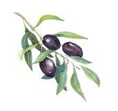 Ramo di ulivo - verdure e foglie delle olive nere watercolor royalty illustrazione gratis