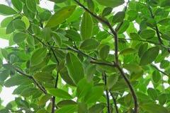 ramo di un albero di baia Immagine Stock