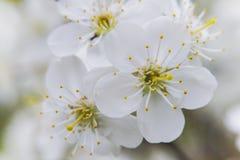 Ramo di un albero con i fiori bianchi Immagini Stock Libere da Diritti