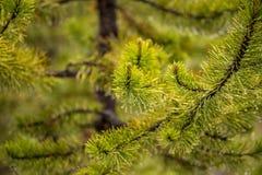 Ramo di un albero di Natale dopo una pioggia, gocce di acqua sugli aghi verdi e piccoli urti fotografia stock libera da diritti