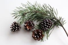 Ramo di un albero di Natale e dei coni su un fondo bianco Fotografia Stock