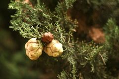 Ramo di un albero sempreverde del thuja con i coni fotografie stock