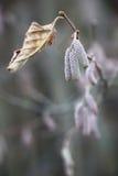 Ramo di un boschetto nocciola verso la fine dell'autunno Fotografia Stock