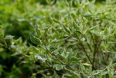 Ramo di un cespuglio con le foglie openwork verde smeraldo con i bordi bianchi Fotografie Stock