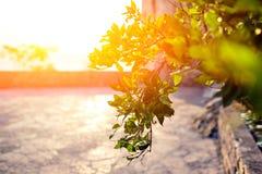 Ramo di un cespuglio verde nei raggi del sole di sera Fotografie Stock