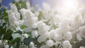 Ramo di un lillà bianco stock footage
