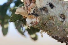 Ramo di un papyrifera di Boswellia dell'albero del franchincenso con franchincenso bianco fotografia stock libera da diritti